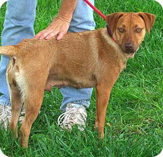 Vizsla Mix Dog for adoption in Somerset, Kentucky - Tasha