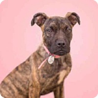 Adopt A Pet :: EMBER - Upper Marlboro, MD