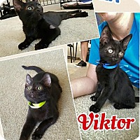 Domestic Shorthair Kitten for adoption in Scottsdale, Arizona - Viktor