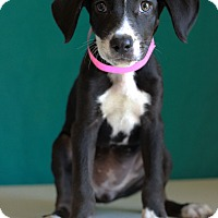 Adopt A Pet :: Holly - Waldorf, MD