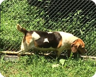 Beagle Mix Dog for adoption in Dumfries, Virginia - Caramel