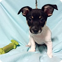 Adopt A Pet :: Baby Pipsqueak (RBF) - Hagerstown, MD