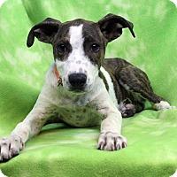 Adopt A Pet :: ARLEENE - Westminster, CO