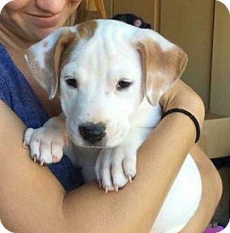 American Pit Bull Terrier Mix Dog for adoption in Peoria, Arizona - BELLA