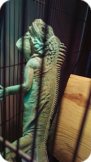Lizard for adoption in Aurora, Illinois - Echo