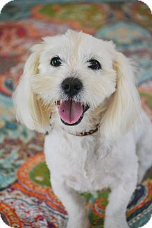 Lhasa Apso/Westie, West Highland White Terrier Mix Dog for adoption in Hagerstown, Maryland - Harrison