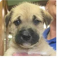 Adopt A Pet :: Alice - Springdale, AR