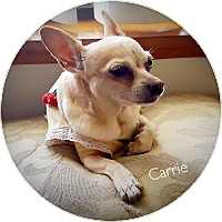 Adopt A Pet :: Carrie - Orange Park, FL
