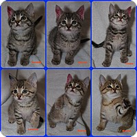 Domestic Shorthair Kitten for adoption in Thornhill, Ontario - Laverne