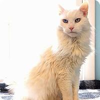 Adopt A Pet :: Bear - Fairfax, VA