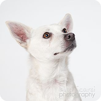 Shiba Inu Mix Dog for adoption in Los Angeles, California - Sierra
