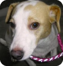 Jack Russell Terrier/Dachshund Mix Dog for adoption in Lincolnton, North Carolina - Twizzler