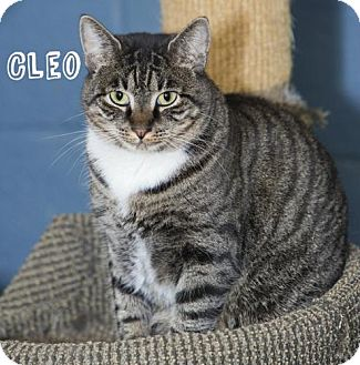 Domestic Shorthair Cat for adoption in River Edge, New Jersey - Cleo