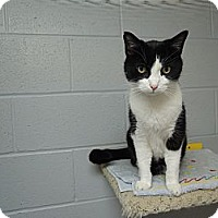 Adopt A Pet :: Sir Oak - House Springs, MO