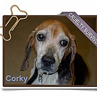 Adopt A Pet :: Corky - Portland, OR