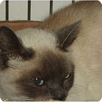 Adopt A Pet :: Cheeno - Westfield, MA