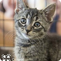 Adopt A Pet :: Colonel - Merrifield, VA