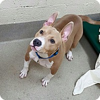 Adopt A Pet :: Chance - Garwood, NJ