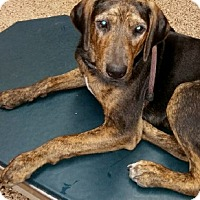 Black and Tan Coonhound/Plott Hound Mix Puppy for adoption in Dallas, Texas - Enchanted