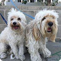 Adopt A Pet :: Norman - Van Nuys, CA
