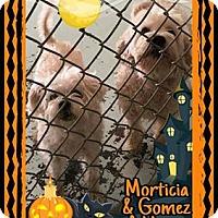Adopt A Pet :: Morticia -Bonded Pair w/ Gomez - Newport, KY
