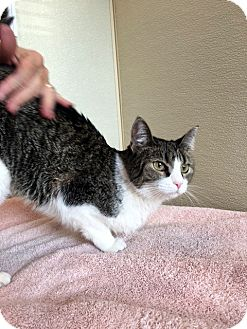 Domestic Shorthair Cat for adoption in North Las Vegas, Nevada - Lilly
