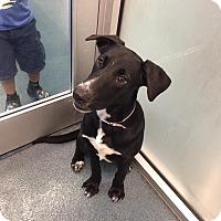 Adopt A Pet :: Spike - Bedford, TX
