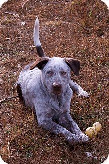 Border Collie/Australian Cattle Dog Mix Puppy for adoption in Staunton, Virginia - frank