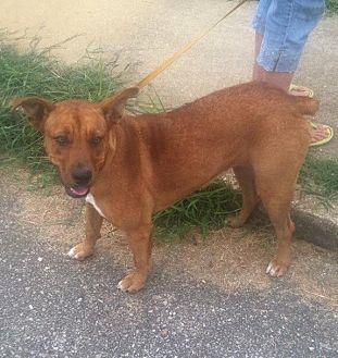 Boxer/Doberman Pinscher Mix Dog for adoption in Hayden, Alabama - Jackie