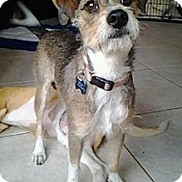 Terrier (Unknown Type, Medium) Mix Dog for adoption in Royal Palm Beach, Florida - Lady Lucy