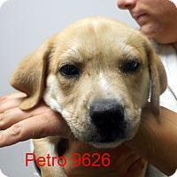 Adopt A Pet :: Petro - baltimore, MD