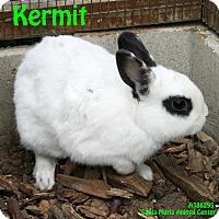Adopt A Pet :: Kermit - Santa Maria, CA