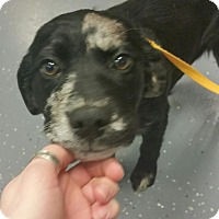 Adopt A Pet :: Denise - available 2/20 - Sparta, NJ