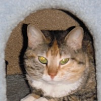Calico Cat for adoption in Baton Rouge, Louisiana - Callie
