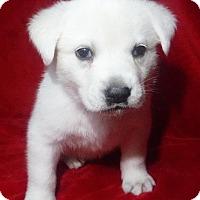 Adopt A Pet :: Gilly - Batesville, AR