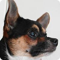 Adopt A Pet :: Hopper - Chesterfield, MO