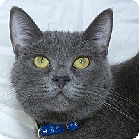 Domestic Shorthair Cat for adoption in Sacramento, California - Ms Viola