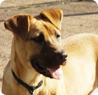American Bulldog/Labrador Retriever Mix Dog for adoption in Oxford, Mississippi - Booboo