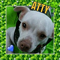 Adopt A Pet :: Atty - Scottsdale, AZ