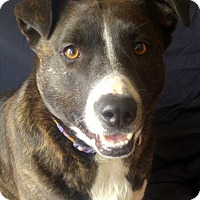 Pit Bull Terrier/Labrador Retriever Mix Dog for adoption in Cuba, New York - Jenna Princeton