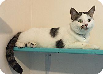 Domestic Shorthair Cat for adoption in Colorado Springs, Colorado - Nightingale