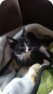 Domestic Shorthair Kitten for adoption in Cedar Rapids, Iowa - Sox