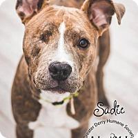 Adopt A Pet :: Sadie - Hillsboro, NH