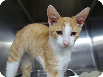 Domestic Shorthair Kitten for adoption in Tucson, Arizona - CAPUTO