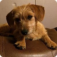 Adopt A Pet :: Roxy - Kittery, ME