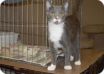 Domestic Shorthair Cat for adoption in Little River, South Carolina - Speedy
