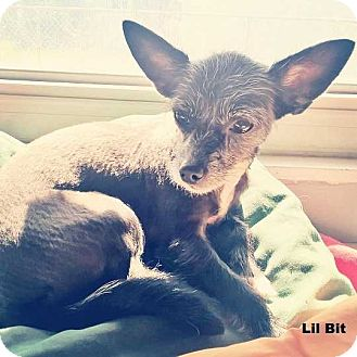 Chihuahua/Cairn Terrier Mix Dog for adoption in Lighthouse Point, Florida - LilBit