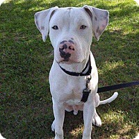 Dogo Argentino Mix Dog for adoption in west berlin, New Jersey - Bert