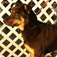 Adopt A Pet :: Iris - Phoenix, AZ