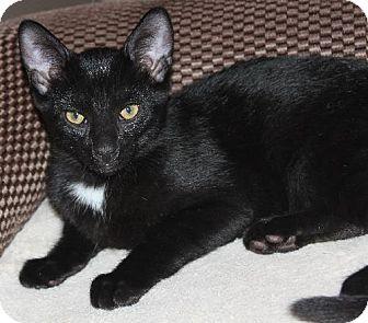 Domestic Shorthair Kitten for adoption in Livonia, Michigan - Weston - Y Litter